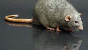 A las ratas les gusta vivir al lado de casas y graneros.