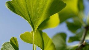 El gingko biloba estimula la producción de HGH.