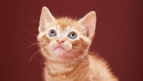 Los gatos con parvovirus pueden enfermarse con gravedad dos o tres días después de contraer el virus.