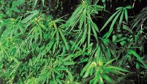 Las semillas de cáñamo proceden de las plantas cannabis.