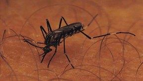 Los mosquitos pueden transmitir enfermedades como el Virus del Nilo Occidental.