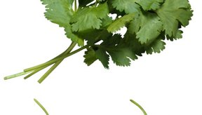 El cilantro añade un sabor fuerte a cualquier platillo.