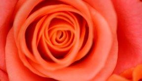 El agua de rosas es útil como tónico, humectante y limpiador suave.