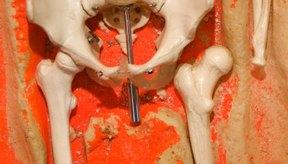 Una articulación semimóvil está ubicada en la parte frontal de la pelvis.