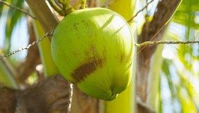 El coco inmaduro es una fuente de agua potable garantizada.