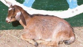 Si no se trata la diarrea, la cabra puede morir en cuestión de horas.
