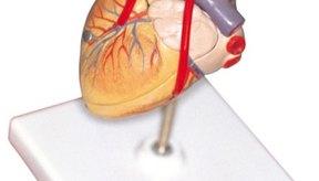 La frecuencia cardíaca es un indicador de la condición aeróbica.