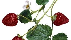 Las hojas de las fresas y los tallos ofrecen múltiples beneficios.