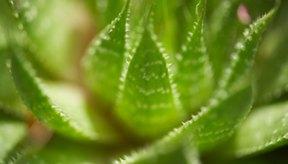 La planta de aloe vera se puede cultivar en casa, lista para usarla cuando sea necesario.