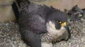 What This Peregrine Falcon Is Doing In Pennsylvania Is Nothing Short Of Amazing