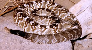 This Wild Video Of Rattlesnake Hunters In Pennsylvania Will Rattle Your Cage
