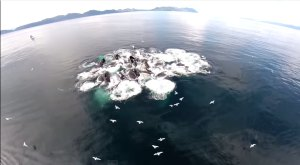 Amazing Video Of Humpback Whales Feeding Off The Shores Of Alaska