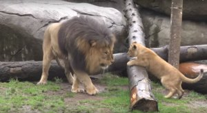 An Oregon Zoo Lion Meets His Cubs For The First Time… And The Result Is Adorable