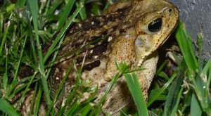 These Giant Toads Found In Florida Can Kill Your Pet In Minutes