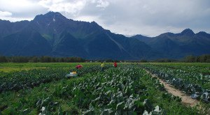 7 Places In Alaska Where You Can Pick Your Own Delicious Food