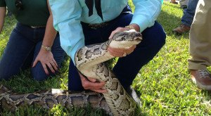 Hundreds Join Hunt For Pythons Wreaking Havock In The Everglades