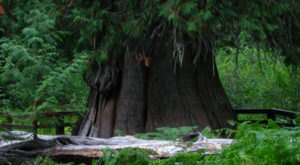 There's Something Incredibly Special About This Ancient Tree In Idaho