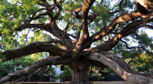 This History Of This Unique Florida Tree Is Bizarre But True