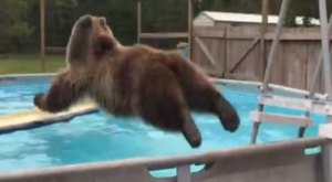 A Bear Decided To Take A Dip In A Swimming Pool In Florida And It Will Crack You Up