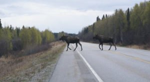 21 Bizarre Things You're Guaranteed To See On Alaska Roads