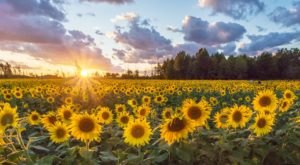 This Magnificent Sunflower Field In Ohio Is As Unexpected As It Is Beautiful