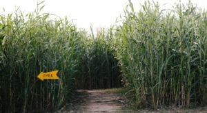 Get Lost In These 5 Awesome Corn Mazes Around Austin This Fall