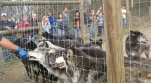 A Hidden Destination In Pennsylvania, Wolf Sanctuary Is A Secret Only Locals Know About