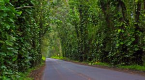 Hawaii's Tunnel Of Trees Is Positively Magical And You Need To Visit