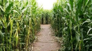Get Lost In These 5 Awesome Corn Mazes In Louisiana This Fall