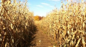 The Number One Corn Maze In America Is Right Here In Massachusetts