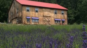 The Beautiful Lavender Farm Hiding In Plain Sight In Pennsylvania That You Need To Visit