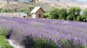 The Beautiful Lavender Farm Hiding In Plain Sight In Nevada That You Need To Visit