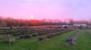 A Beautiful Lavender Farm In Ohio, Peaceful Acres Is Serene And Stunning