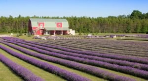 A Beautiful Lavender Farm In Wisconsin, Fragrant Isle Is Serene And Stunning