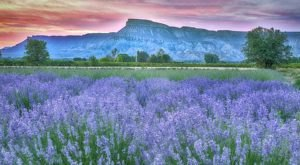 The Beautiful Lavender Farm Hiding In Plain Sight In Colorado That You Need To Visit