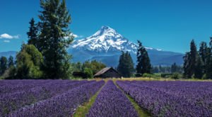 A Beautiful Lavender Farm In Oregon, Lavender Valley Is Serene And Stunning