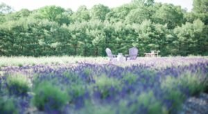 The Beautiful Lavender Farm Hiding In Plain Sight In Connecticut That You Need To Visit