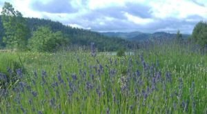 The Beautiful Lavender Farm Hiding In Plain Sight In Idaho That You Need To Visit