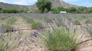 The Beautiful Lavender Farm Hiding In Plain Sight In New Mexico That You Need To Visit