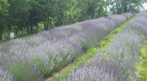 A Beautiful Lavender Farm In Kentucky, Lavender Hills Is Serene And Stunning
