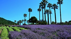 Explore This Beautiful Lavender Farm In Southern California