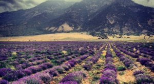 The Beautiful Lavender Farm Hiding In Plain Sight In Utah That You Need To Visit