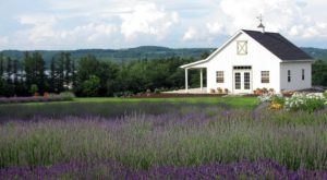 The Beautiful Lavender Farm Hiding In Plain Sight In New York That You Need To Visit