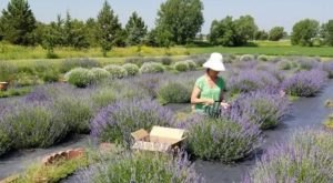 The Beautiful Lavender Farm Hiding In Plain Sight In Nebraska That You Need To Visit