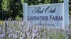 A Beautiful Lavender Farm In Georgia, Red Oak Farm Is Serene And Stunning