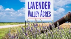 A Beautiful Lavender Farm In Oklahoma, Lavender Valley Acres Is Serene And Stunning