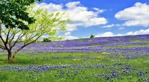 It's Almost The Time Of Year For One Of The Most Beautiful Natural Phenomena In Texas