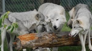 Not Many People Know About This Wolf Sanctuary Right Here In New York
