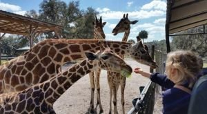 You'll Go Wild For This One-On-One Giraffe Encounter In Florida