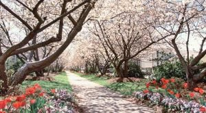 This Lovely Town In Georgia Is Actually The Cherry Blossom Capital Of The World